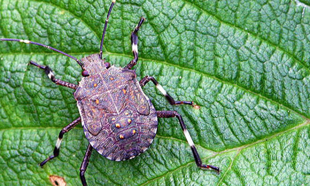 Stink bugs force vessel expulsion