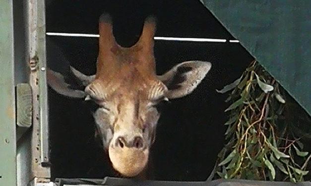 A giraffe went over the Tasman