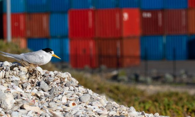 Fremantle does a good tern for bird conservation