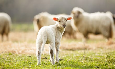 Lamb definition change a potential boost to exporters