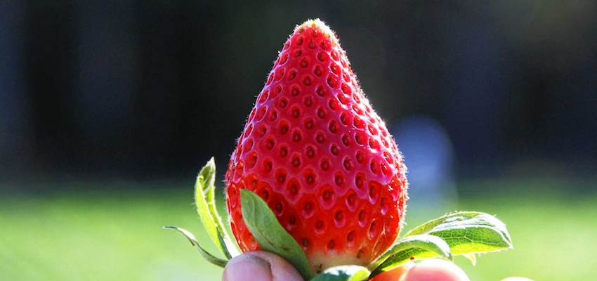 Macau casino group's juicy punt on Aussie strawberries