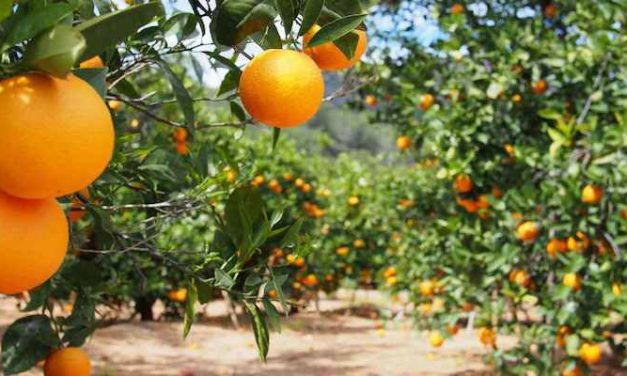 Hounds to help protect vital Australian export fruit
