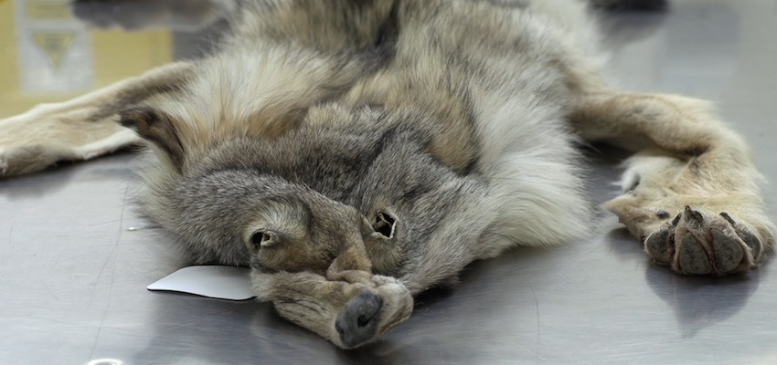Wildlife import warning after wolf pelt seizure