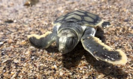 Sand nourishment reaches fruition as turtles return