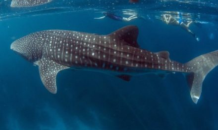 Whale shark study finds one fifth injured by ships