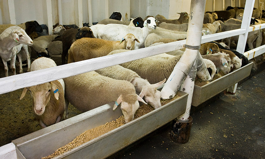 New live sheep export requirements