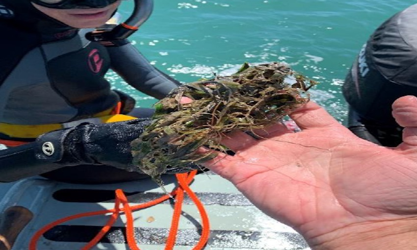 Gladstone seagrass meadows in the best condition for a decade