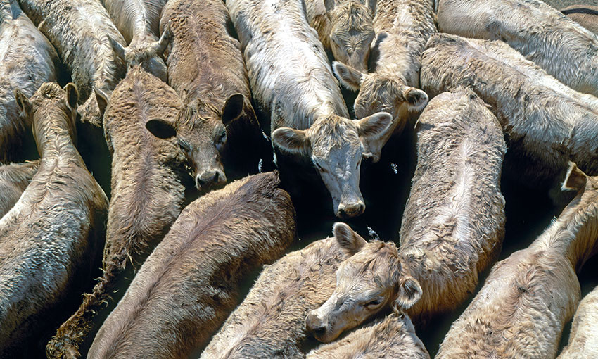 Court rules in favour of live exporters in live export ban class action