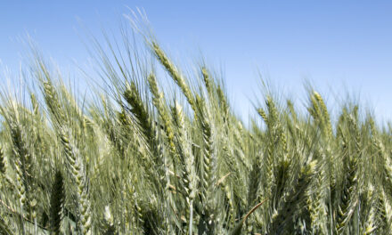 New partnership breeds healthy wheat for Australia