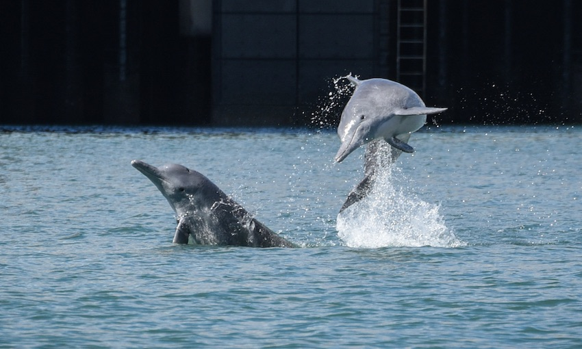 Monitoring shows stable Townsville dolphin populations