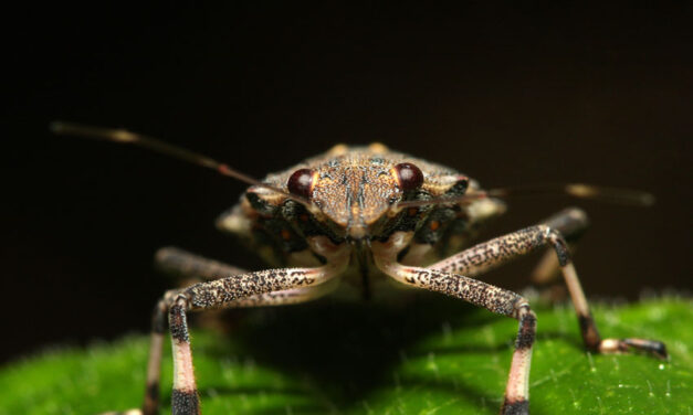 Stink bug season ends without a biosecurity breach