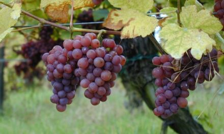 Traceability tech potential for grape shipments