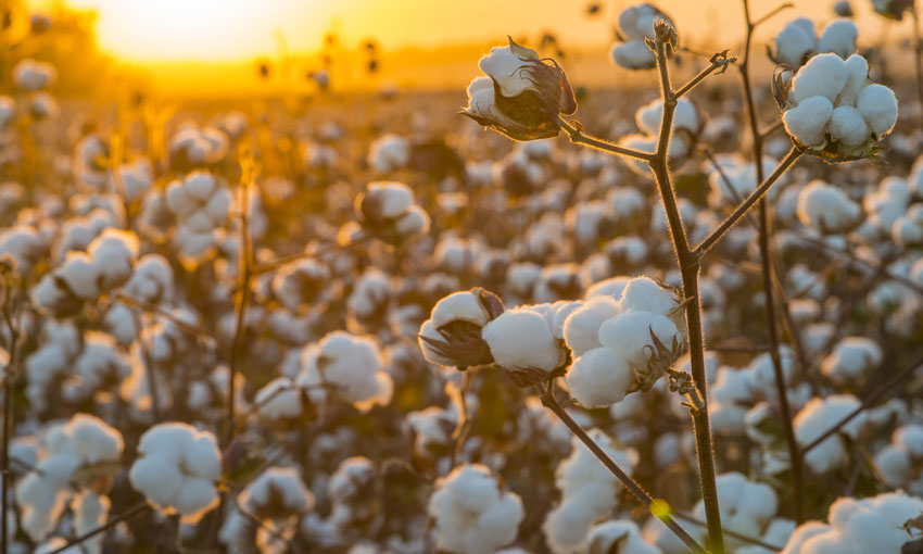 Australian cotton affected by China spat