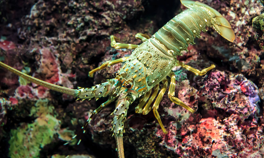 Rock lobster a focus of Australia – China trade debate (with video)