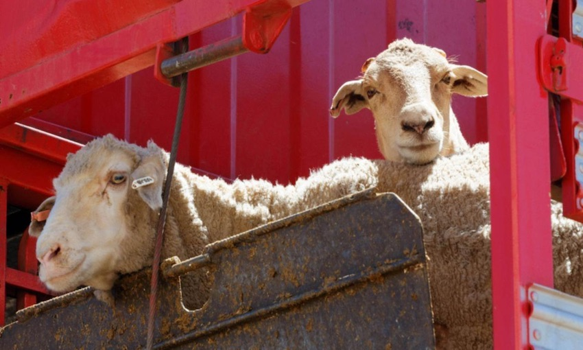 Government seeks new ways to automate export livestock health
