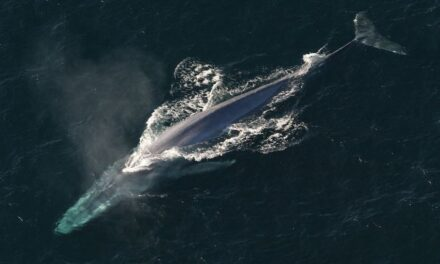 Satellite tracking supports blue whale survival