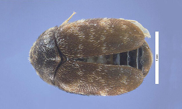 New import container measures to combat khapra beetle