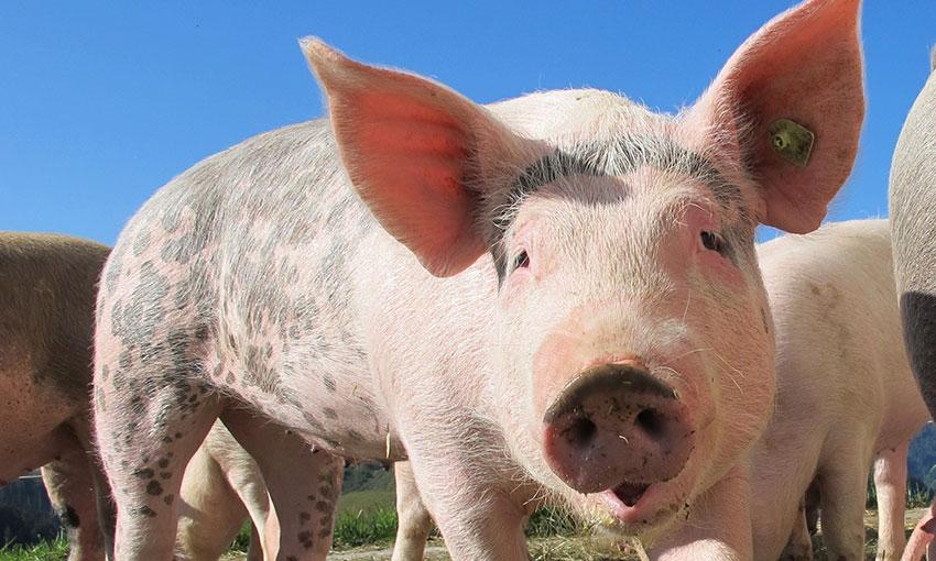 $66.6-million package to combat African swine fever deemed effective